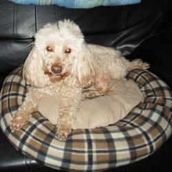 Rocky, chien Caniche