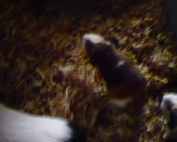 Rocky, rongeur Cochon d'Inde