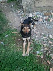 Rocky, chien Brachet allemand