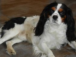 Rocky, chien King Charles Spaniel