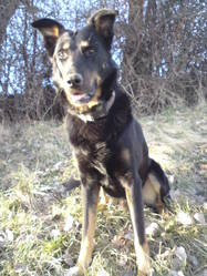 Rocky, chien Beauceron