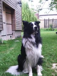 Rocky, chien Border Collie