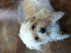 Rocky, chien Bichon havanais