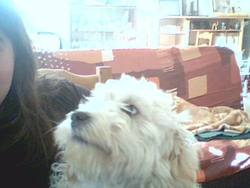 Rocky, chien Petit Basset Griffon vendéen