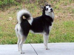 Rocky, chien Husky sibérien