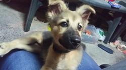 Rocky, chien Berger allemand