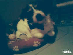 Rocky, chien Jack Russell Terrier