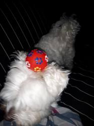 Rocky, chien Bichon maltais