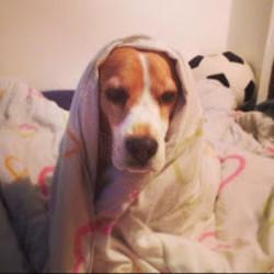 Rocky, chien Beagle