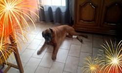 Rocky, chien Boxer