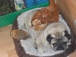 Rocky, chien Carlin