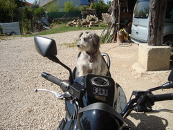 Roda, chien Schnauzer