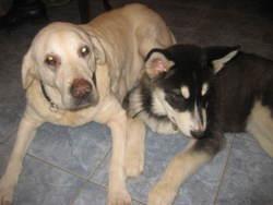 Rodea, chien Labrador Retriever
