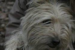 Rodin, chien Cairn Terrier