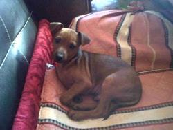 Rodolfh, chien Pinscher