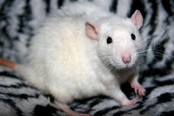 Ind Rodrigo, rongeur Rat