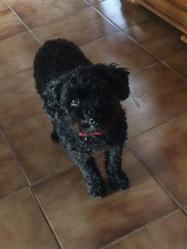 Rody, chien Caniche