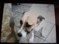 Roffie, chien Jack Russell Terrier