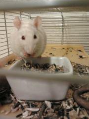 Rogue, rongeur Rat