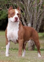 Roki, chien American Staffordshire Terrier