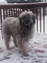 Rolf, chien Bouvier des Flandres