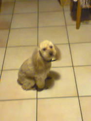 Roller, chien Caniche