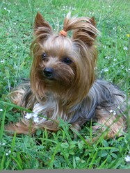 Rolly_pop, chien Yorkshire Terrier