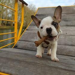 Roméo, chien Bouledogue français