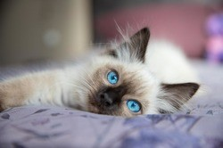 Roméo, chaton Ragdoll
