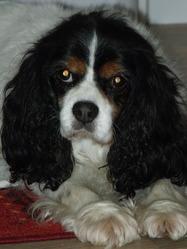 Romane, chien Cavalier King Charles Spaniel