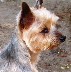 Roméo, chien Yorkshire Terrier