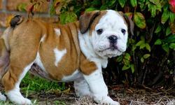 Romeo, chien Bulldog