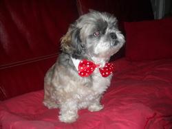Roméo, chien Shih Tzu