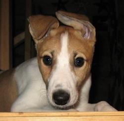 Romeo, chien Greyhound