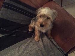 Roméo , chien Yorkshire Terrier