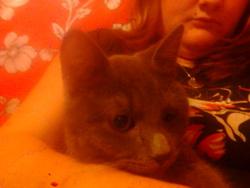 Roméo, chat Chartreux