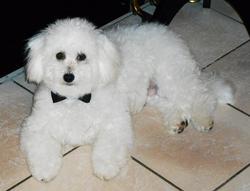 Roméo, chien Bichon à poil frisé