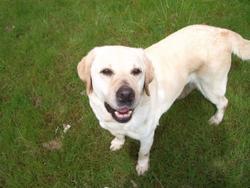 Badie, chien Labrador Retriever