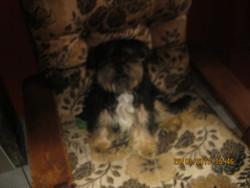 Roméo, chien Lhassa Apso