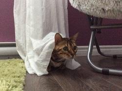 Roméo, chat Bengal