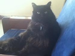 Roméo , chat Européen