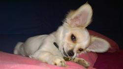 Roméo, chien Chihuahua