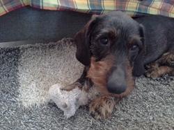 Romeo, chien Teckel