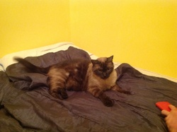Romeo, chat Siamois