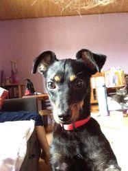 Roméo, chien Pinscher
