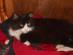 Roméo, chat Norvégien