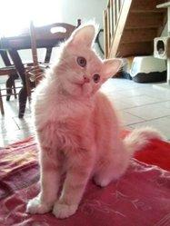 Roméo, chat Européen