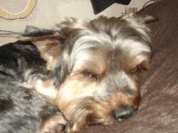 Romeo, chien Yorkshire Terrier