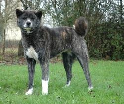Romeo , chien Akita Inu