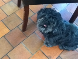 Romeo, chien Shih Tzu